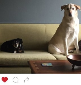 Big dog and little black dachshund on couch