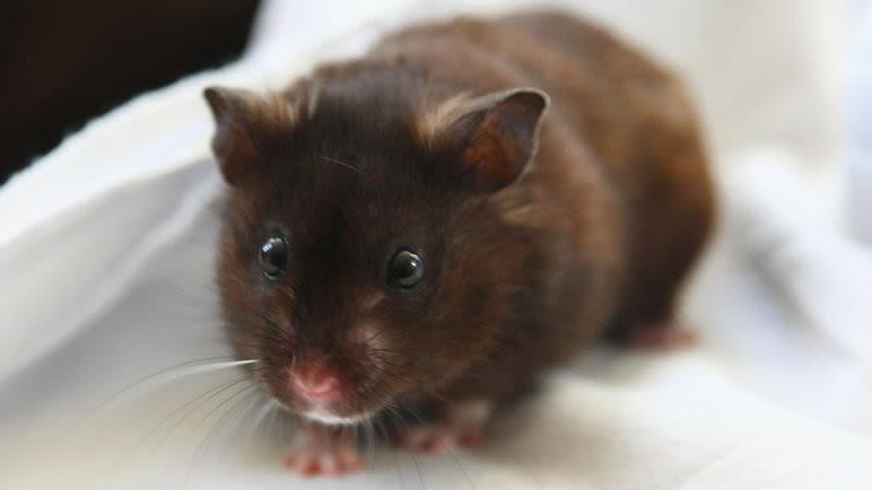 BeanCast 483: Flushing Hamsters